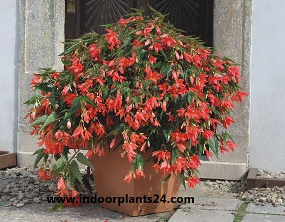begonia2bboliviensis2bhouse2bplant-8627750