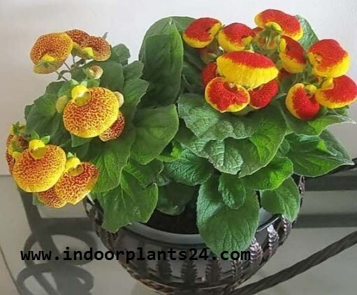calceolaria2bx2bherbeohybrida2bscrophulariaceae2bhouse2bplant-5016237