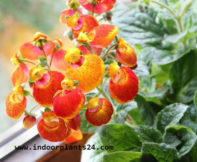 calceolaria2bx2bherbeohybrida2bscrophulariaceae2bhouse2bplant2bimage-9636305