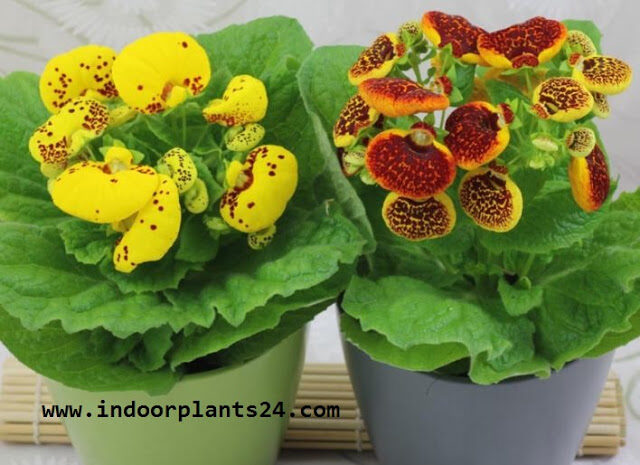 calceolaria2bx2bherbeohybrida2bscrophulariaceae2bpotted2bplant2bimage-1179414