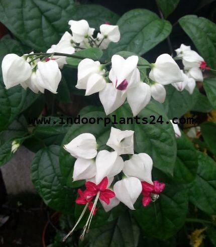 clerodendrum2bthomsoniae2b2bhouse2bplant2bpotted-8243079