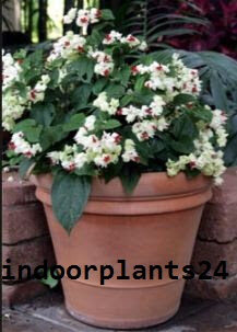 clerodendrum2bthomsoniae2b2bhouse2bpotted2bplant2bpicture-3553368