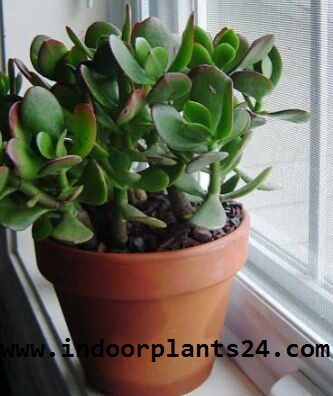 crassulaceae2bhouse2bplant2bpotted2bpicture-8991952