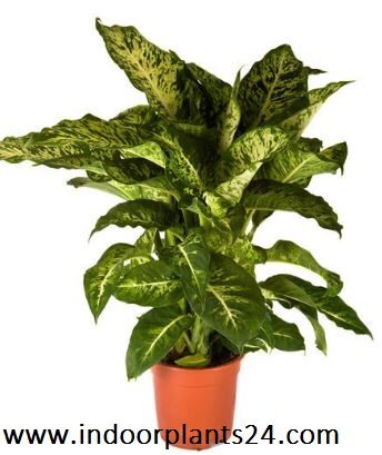 dieffenbachia2bmaculata2b2bplant2bpotted2bpicture-4420845