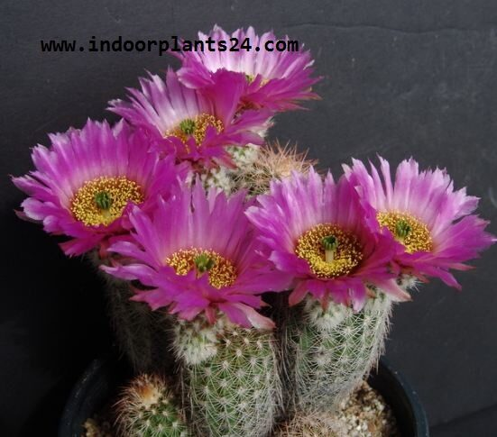 echinocereus2bpectinatus2bindoor2bplant-4123769