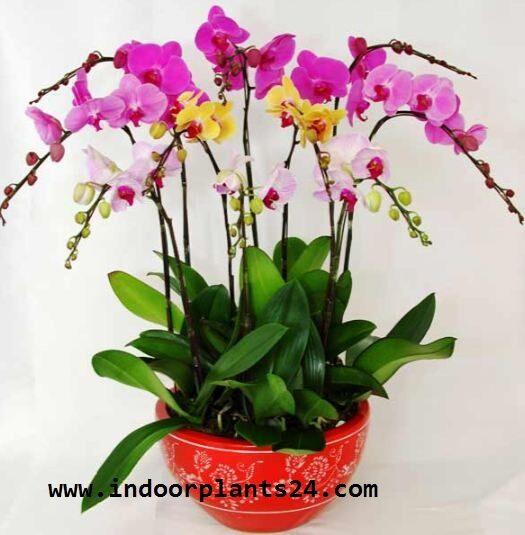 orchidaceae2bcattleya2bindoor2bplant2bpotted-3075482