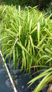 pandanus-veitchii-variegated-screw-pine-7835160