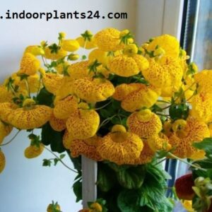 calceolaria2bx2bherbeohybrida2bscrophulariaceae2bindoor2bplant2bpicture-3190750