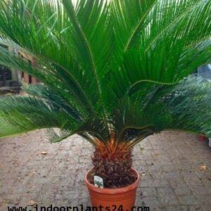 cycadaceae2bplant2bpotted2bimage-8584594