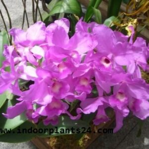 orchidaceae2bcattleya2bhouse2bplant2bpotted-2247109