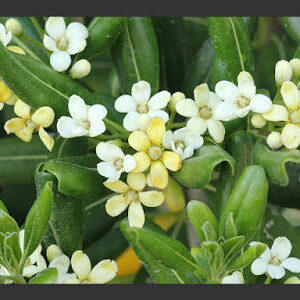 pittosporum_tobira_japanese_mock2bflower2bimage-8853138
