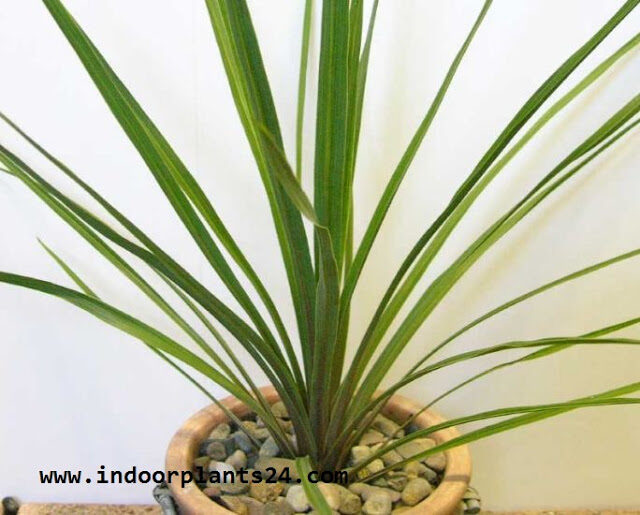 agavaceae2bindoor2bhouse2bplant2bpicture-1688619