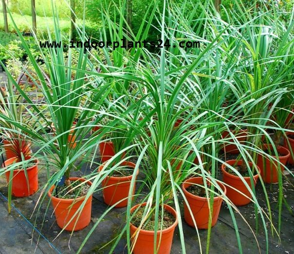 cabbage2btree2bindoor2bhouse2bplant2bpotted-3731373