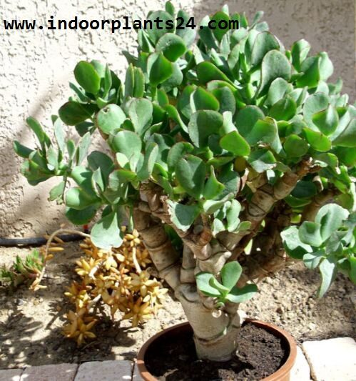 crassula2barborescens2b2bplant-7897915