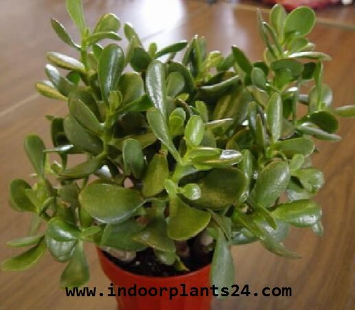 crassula2barborescens2bindoor2bplant2bimage-3242764