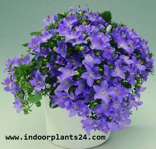campanula2bisophylla2bhouse2bplant-6428365