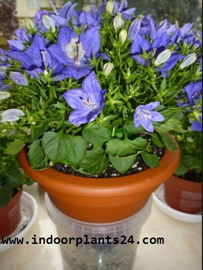 campanula2bisophylla2bhouse2bplant2bin2bpotted2bpicture-1624552