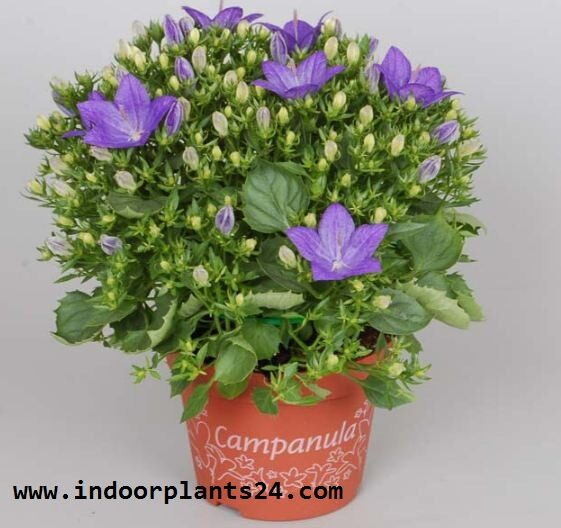 campanula2bisophylla2bpotted2bimages2bfor2bhouse-8218985
