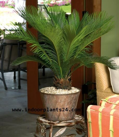 cycas2brevoluta2bjapanese2bsago2bpalm2bpotted-9307933