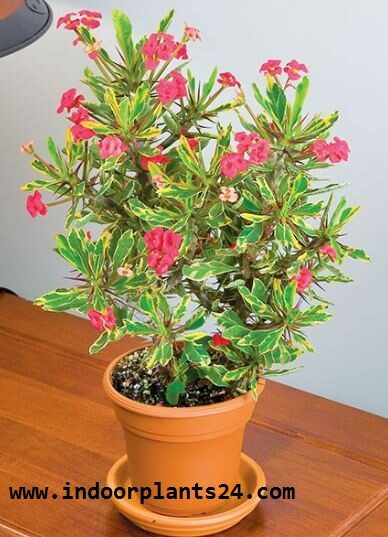 euphorbia2bmilii2b2bpotted2bpicture-9425778