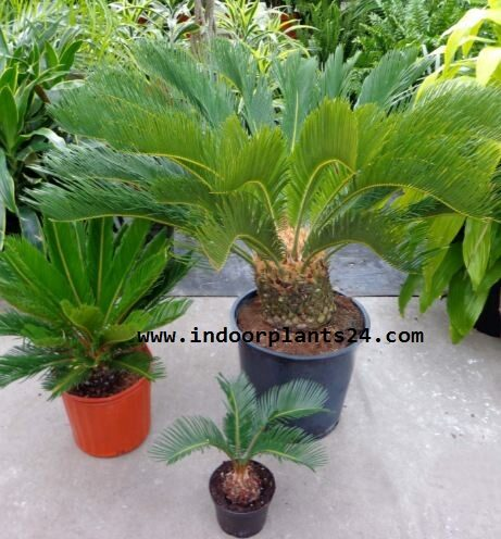 japanese2bsago2bpalm2bindoor2bplant2bpicture-5003947