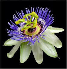 passiflora2bcaerulea2b2528common2bpassion2bflower2529-7526308