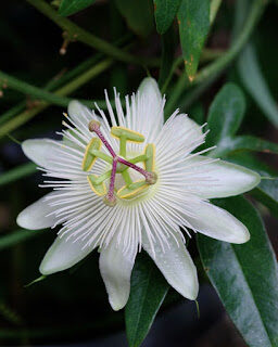 passiflora2bcaerulea2bpassifloraceae2bcommon2bpassion2bflower-8902252