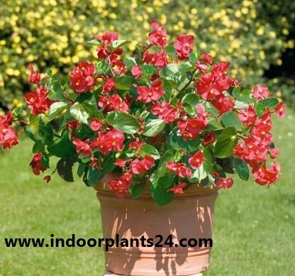 wax begonia pictures