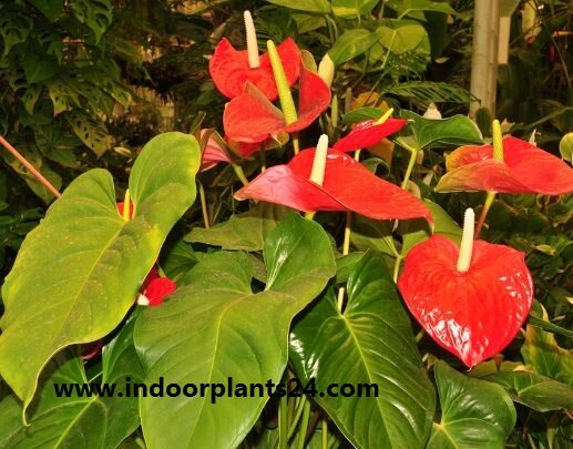 anthurium2bscherzerianum-7945976