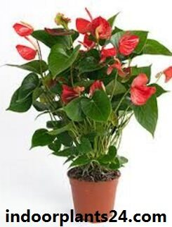 anthurium2bscherzerianum2bhouse2bplant2bimage-4225100