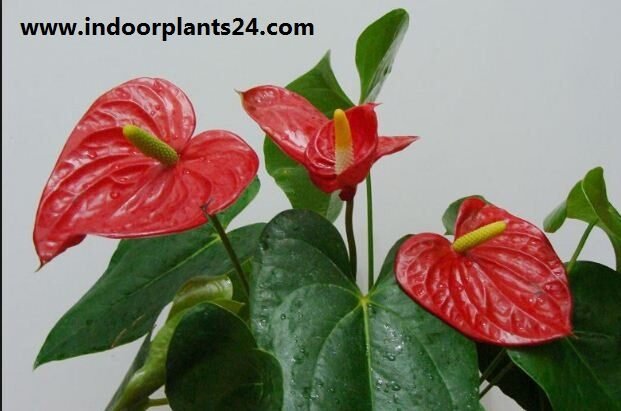 anthurium2bscherzerianum2bindoor2bplant2bphotos-1549092