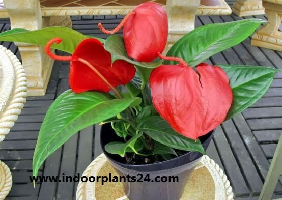 anthurium2bscherzerianum2bpics2bpotted-1911750