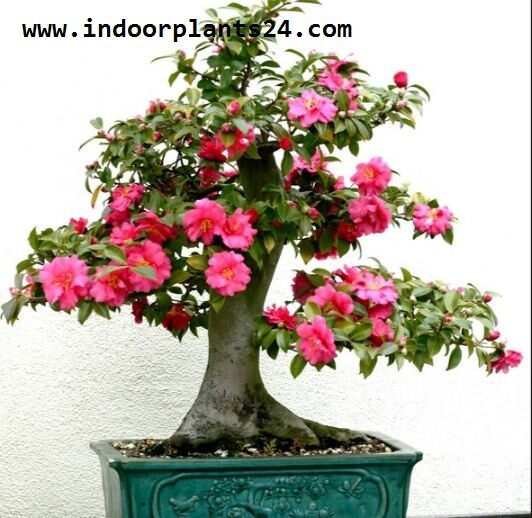 camellia2bjaponica2bplant2bpotted2bpicture-1342741