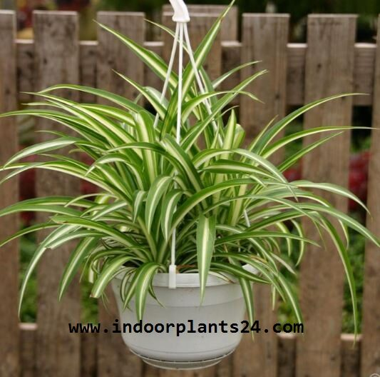indor2bhouse2bplant2bspider-9561434