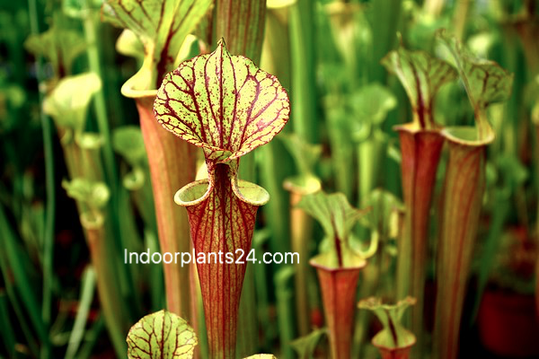 sarracenia_flava2b2528yellow2bpitcher25292b-8186087