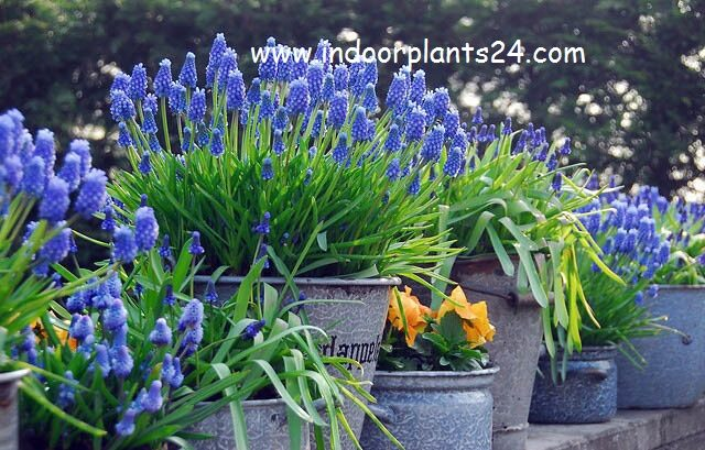 add-a-descriptionmuscari-armeniacum